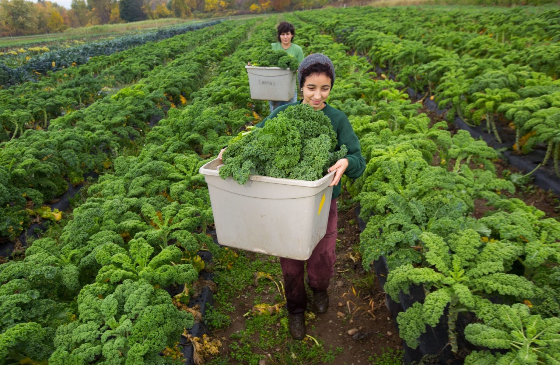 Two people in field of kale holding white bins with kale